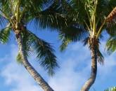hawaiian-romantic-new_palms